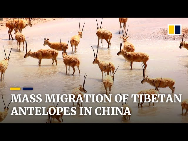 Huge mass migration of Tibetan antelopes seen in China's Tibet autonomous region