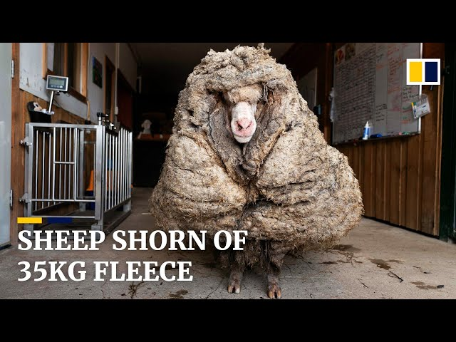 Sheep shorn of 35kg fleece after being rescued in Australia