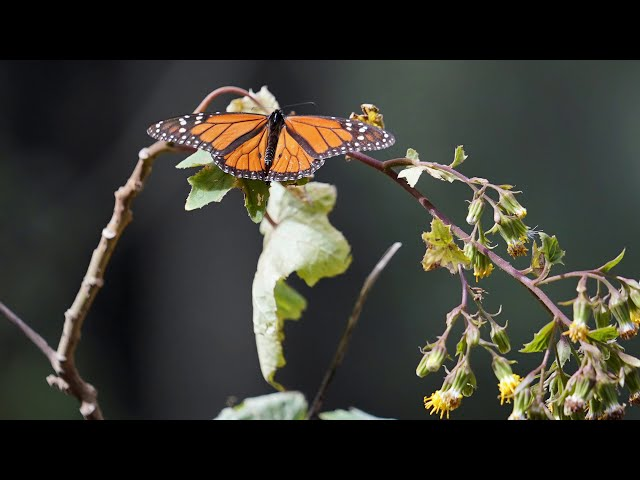 Slideshow: Monarch butterflies