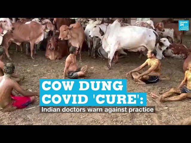 Cow dung Covid 'cure': Indian doctors warn against practice
